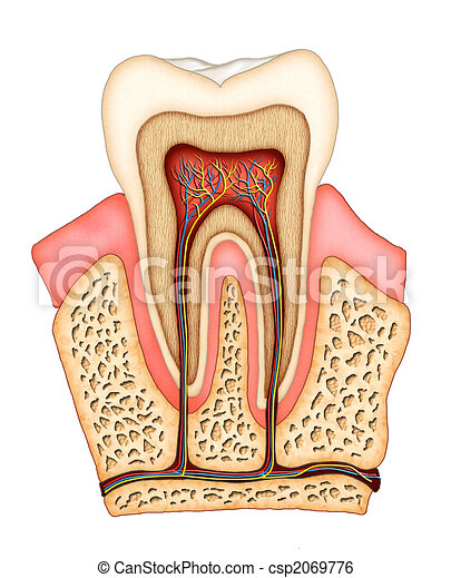 Dental Anatomy Section Of A Molar Showing Its Internal Structure
