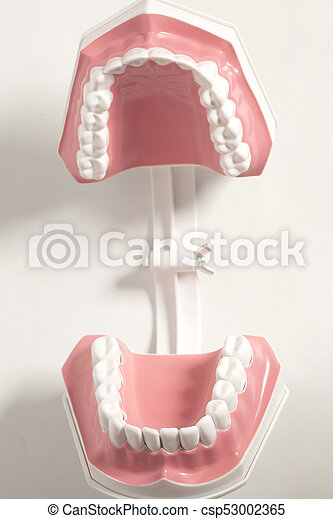 Dental human teeth model on a white background.