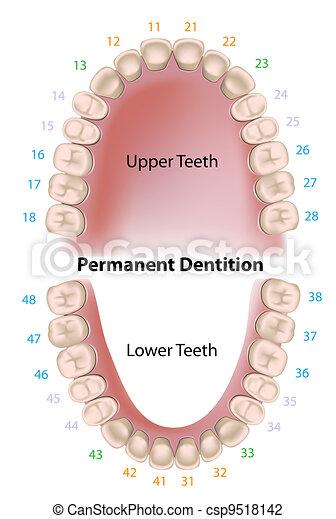 dental, permanente, notação, dentes - csp9518142