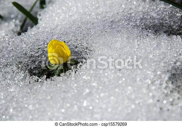 derretendo, flor, neve - csp15579269
