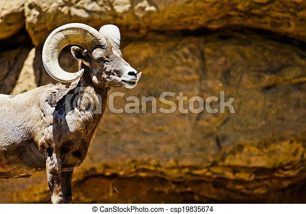 Desert Big Horn Sheep in Wilderness - csp19835674