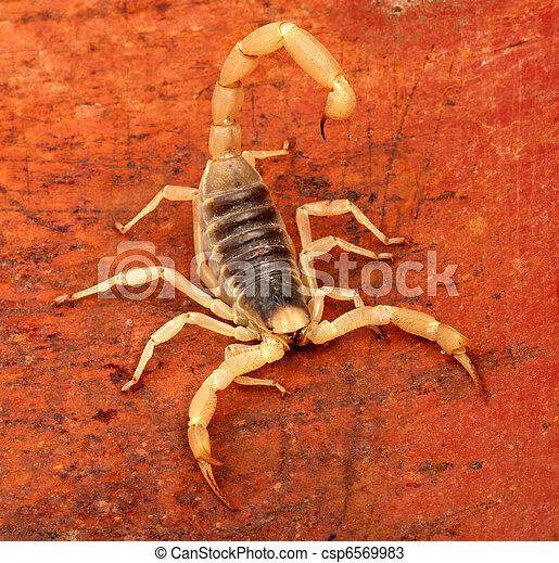 Desert Hairy Scorpion. - csp6569983