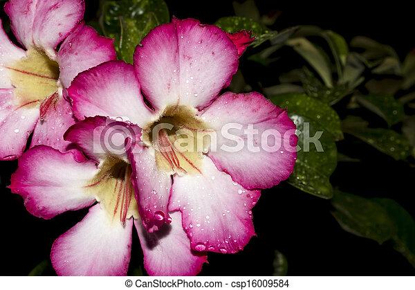 Desert Rose; Impala Lily; Mock Azalea - csp16009584