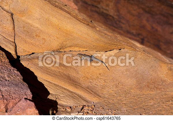 Desert Spiny Lizard - csp61643765