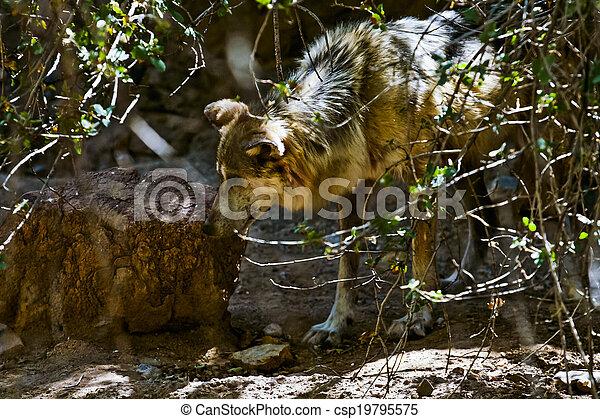 Desert Wolf - csp19795575