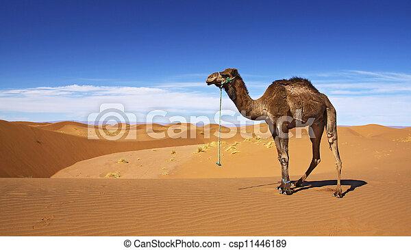 desierto, camello - csp11446189