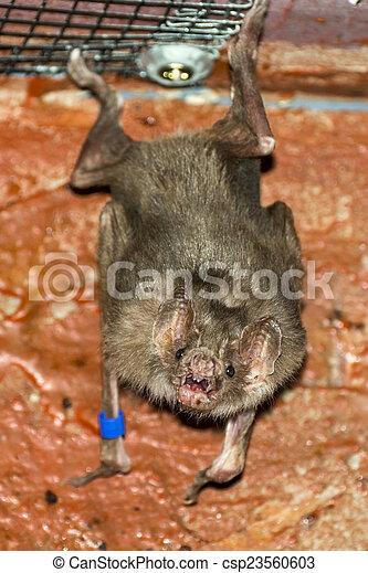 (desmodus, rotundus), vampire, chauve-souris, commun - csp23560603