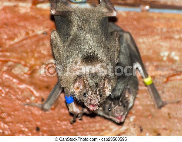 (desmodus, rotundus), vampire, chauve-souris, commun - csp23560595