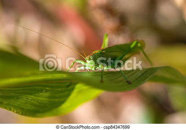 detail, cvrček, list, důležitý, -, názor, obilí, nezkušený, keř, kobylka luční - csp84347699