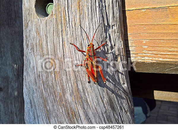 Detail Large grasshopper crawling up the wooden log on a sunny day - csp48457261