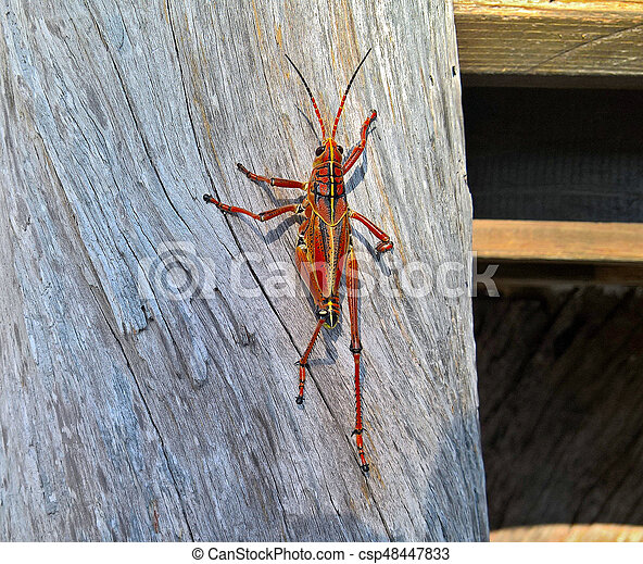 Detail Large grasshopper crawling up the wooden log on a sunny day - csp48447833