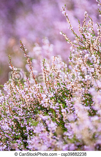 Detail of a flowering heather plant in dutch landscape - csp39882238