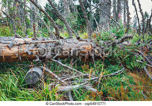Detail of a tree broken by a strong wind, storm damage - csp54910771