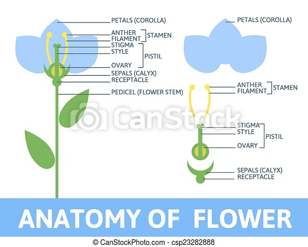 Detail of anatomy flower. Infographics anatomy of a flower ...