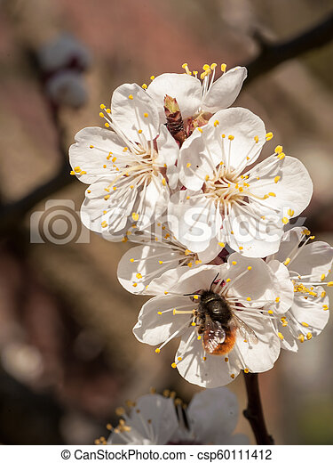 Detail of apricot blossoms on a sunny day in springtime - csp60111412