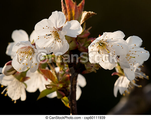 Detail of apricot blossoms on a sunny day in springtime - csp60111939