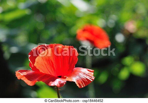 Detail of beautiful red poppy - csp18446452