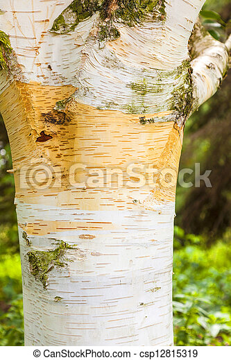 detail of birch tree bark  - csp12815319