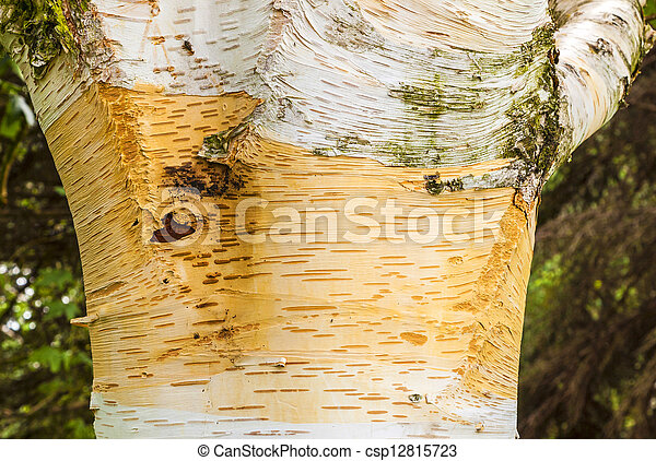 detail of birch tree bark  - csp12815723