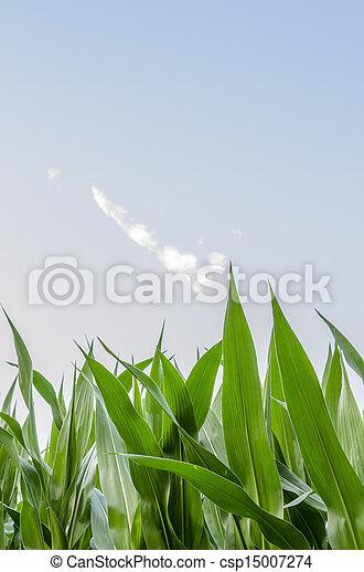 Detail of corn field - csp15007274
