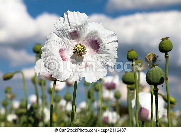 Detail of flowering opium poppy papaver somniferum pictures search detail of flowering opium poppy papaver somniferum csp42116487 mightylinksfo Gallery