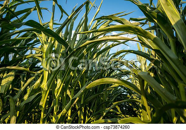 detail of leafs of corn - csp73874260