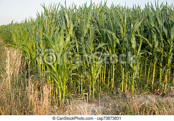 detail of leafs of corn - csp73873831