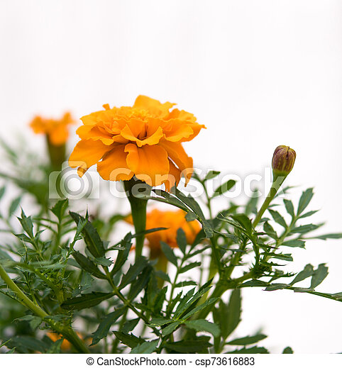 detail of orange flowers - csp73616883