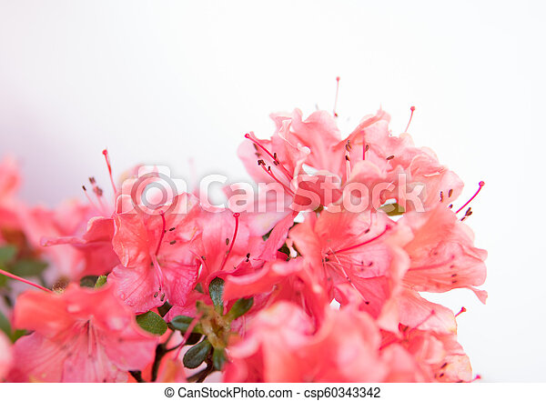 detail of rhododendron flowers - csp60343342