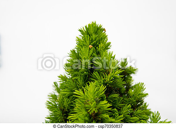 detail of small spruce - csp70350837