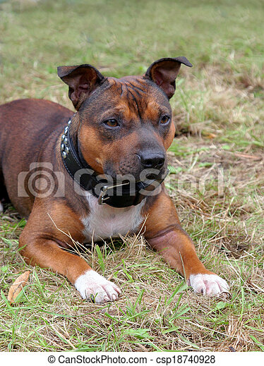 Detail of Staffordshire Bull Terrier puppy - csp18740928