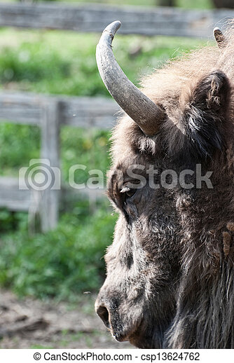 Detail of the head of european bison - csp13624762
