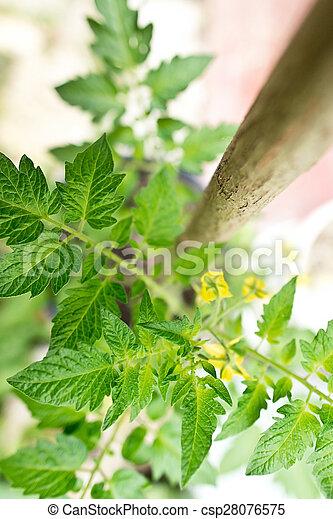 detail of tomato plant - csp28076575