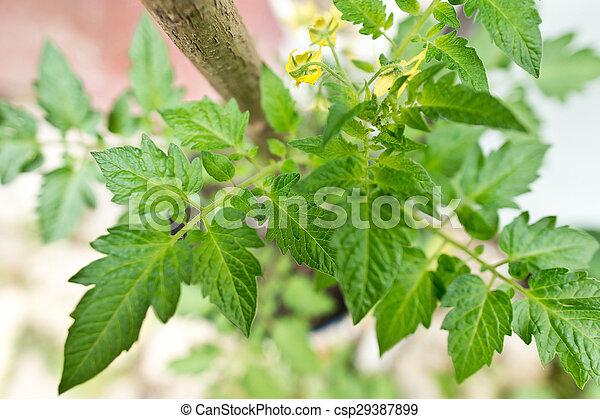 detail of tomato plant - csp29387899