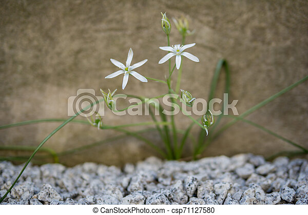 detail of two small white flowers - csp71127580