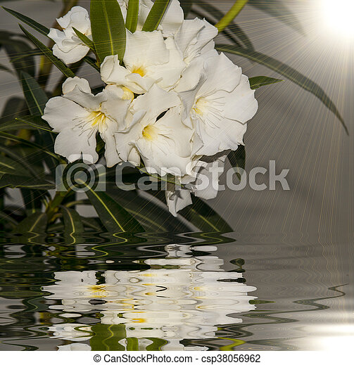 Detail of white oleander flowers in full bloom and reflect detail of white oleander flowers csp38056962 mightylinksfo