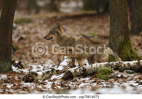 Detail portrait of Gray wolf in the forest. Wildlife scene from north of Europe. Canis lupus - csp75614073