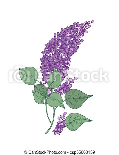 Detailed botanical drawing of lilac branch with purple flowers and detailed botanical drawing of lilac branch with purple flowers and green leaves isolated on white background mightylinksfo