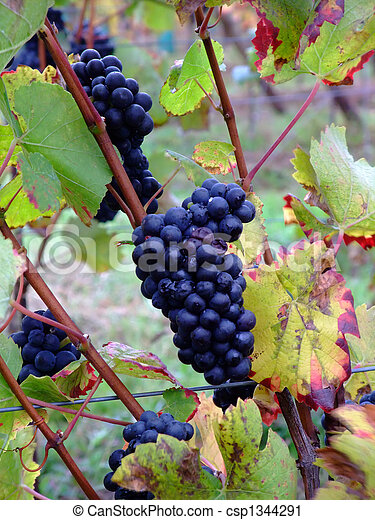 details of french grapes Pinot noir in Alsace - csp1344291