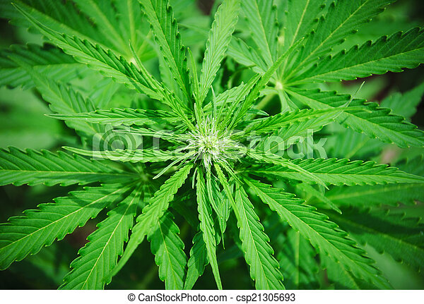 detalhe, broto, marijuana - csp21305693
