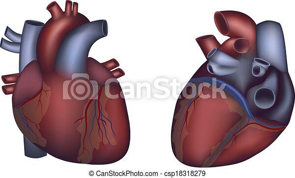 Detallado, corazón, colorido, anatomía, diseño, humano ...