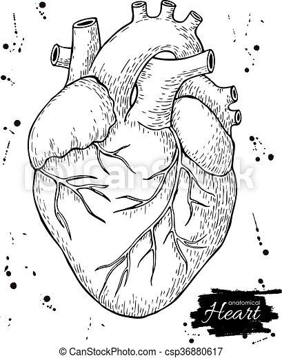 Detallado, heart., illustration., anatómico, humano,... clip art ...