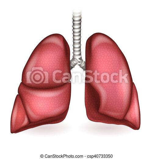 Detallado, pulmones, ilustración, anatomía, plano de fondo, blanco ...