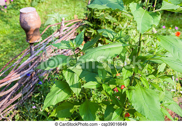 devant, plante, canisse, tournesol, barrière - csp39016649