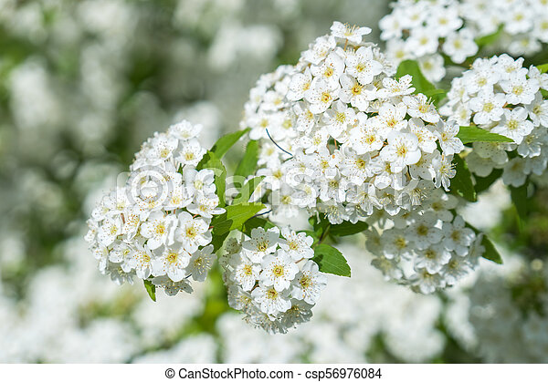 dewy flowering shrub bridal wreath spirea, floral background - csp56976084