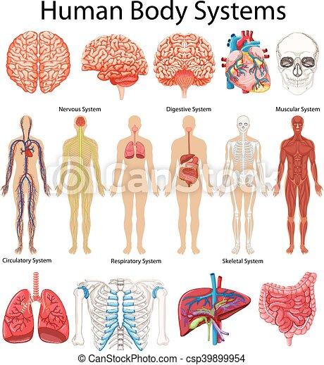 diagram, kropp, visande, system, mänsklig - csp39899954