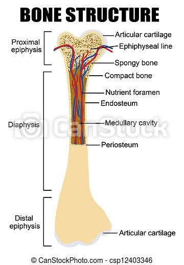 Diagram of human bone anatomy - csp12403346