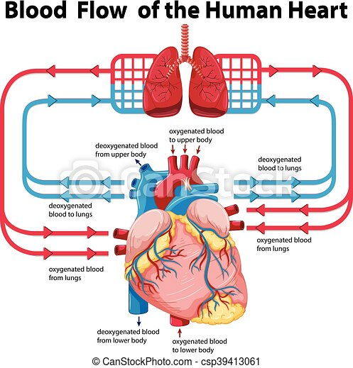 Diagram showing blood flow of human heart illustration diagram showing blood flow of human heart csp39413061 ccuart Gallery