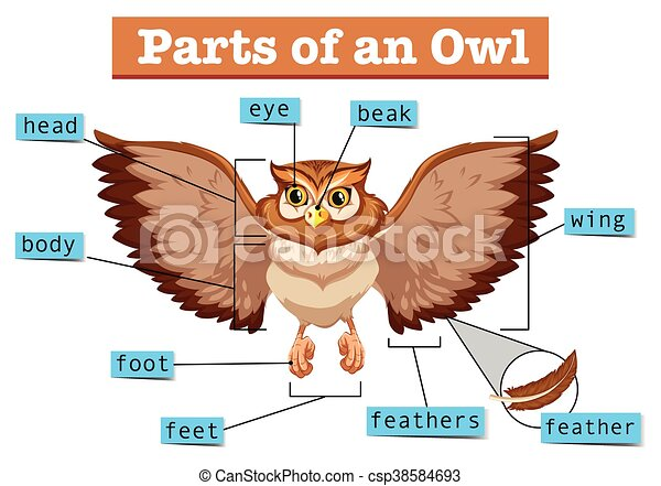Diagram    showing different part of owl illustration