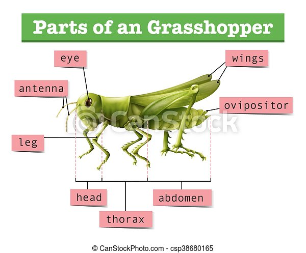 Diagram Showing Different Parts Of Grasshopper Illustration